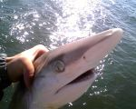 User:stephen.franklin Name:130209_0004.jpg Title:Sandbar Shark Views:211 Size:76.48 KB